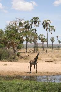 Giraffe, Ruaha National Park